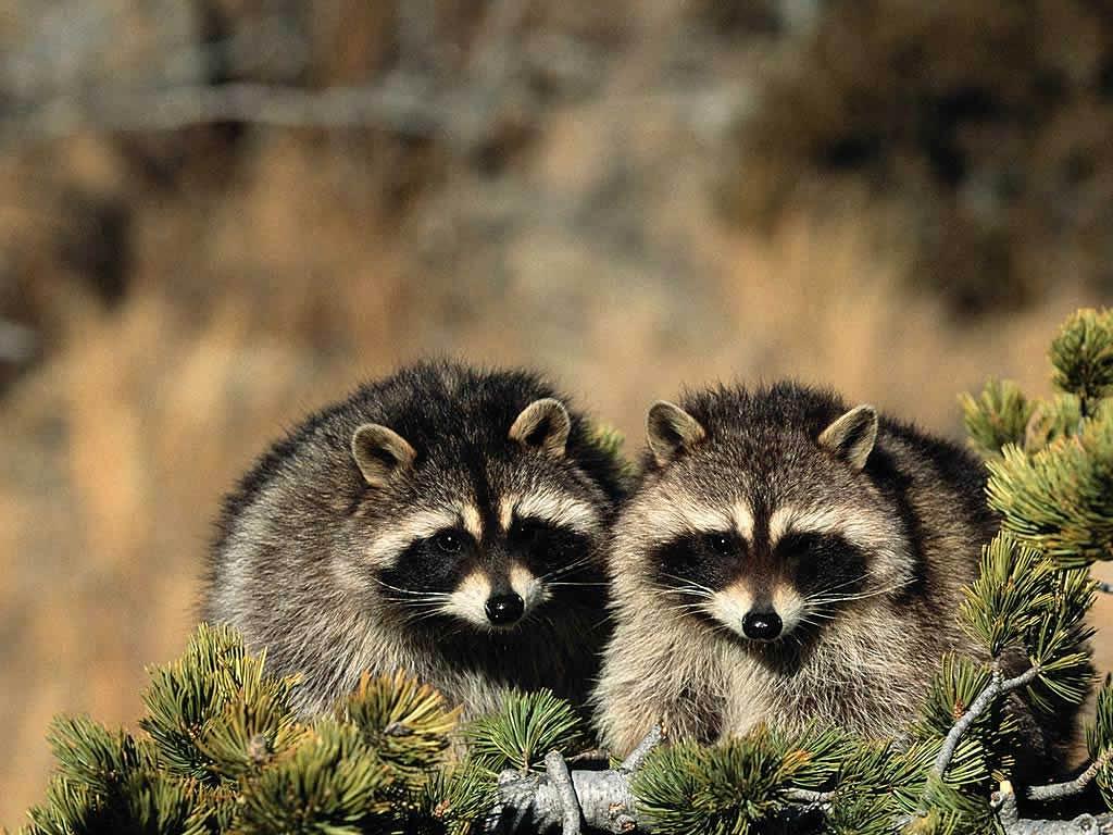 Raccoon Video Raccoon Wallpapers | F...