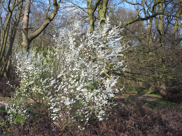 Prunus in flower at the edge of the wood.  Spring Park, 18 March 2012.