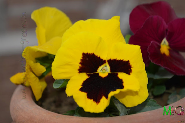 Metro Greens: Yellow Pansy flower