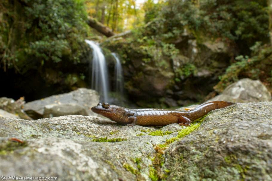 Lizard or salamander 1 (Photo by Brian Gratwicke)