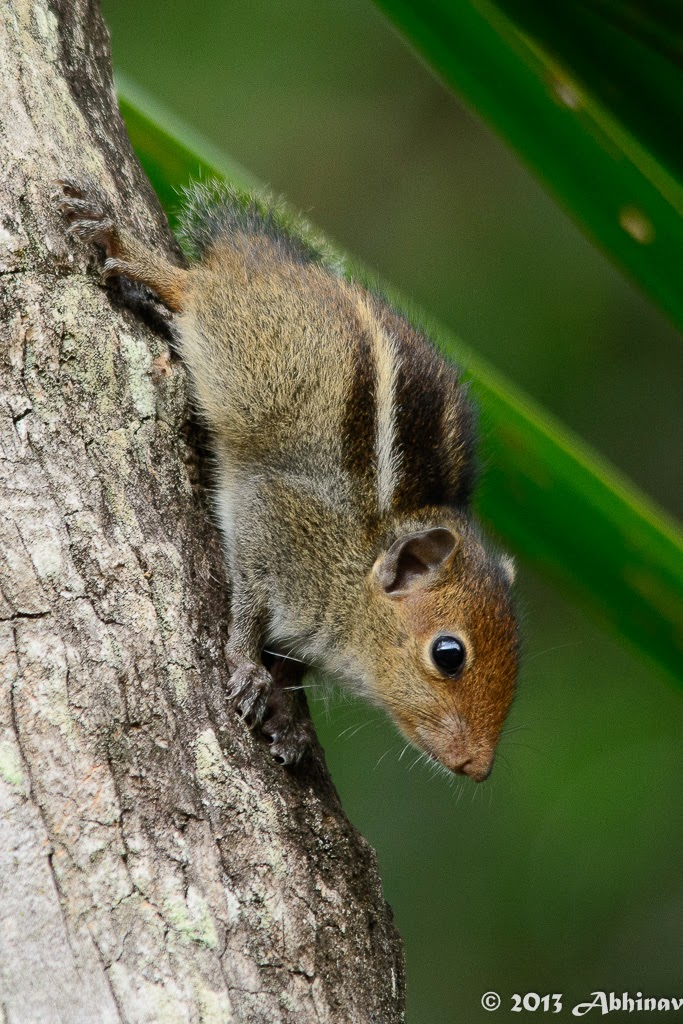 Juvenile Indian Palm Squirrel