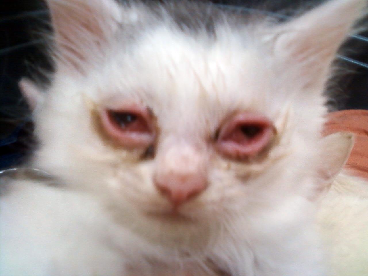 Как вылечить глаз у котенка в домашних условиях 225