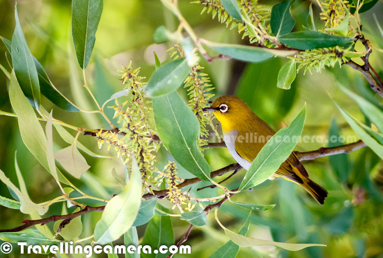 Yellow Colored Oriental White Eye Birds Around My Home In