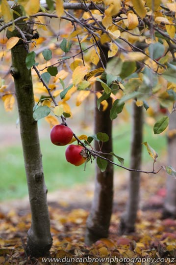 Apples in winter, autumn leaves photograph
