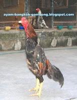 Teknik Bertarung Ayam Bangkok Gambar 1