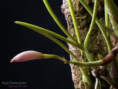 Botão floral da mini-orquídea Laelia lundii