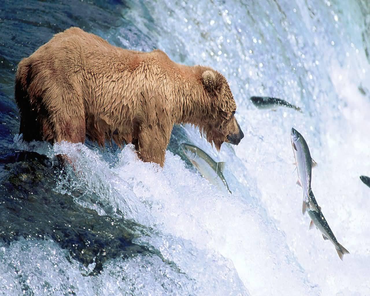http://2.bp.blogspot.com/-vH8rbWOvqao/TaCQ9Tz1SvI/AAAAAAAAEik/13o25eq0BWw/s1600/grizzly_bear_gone_fishing-1280x1024.jpg