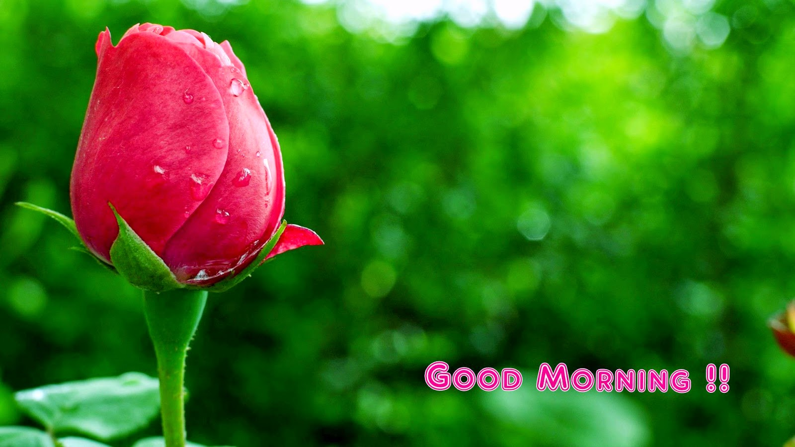 Good Morning Roses Download : Beautiful rose good morning wallpapers free download for