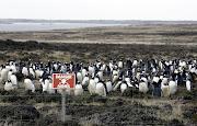 . una Colonia de Pinguinos descansa en un campo minado en Kidney Covecerca . rtxnt