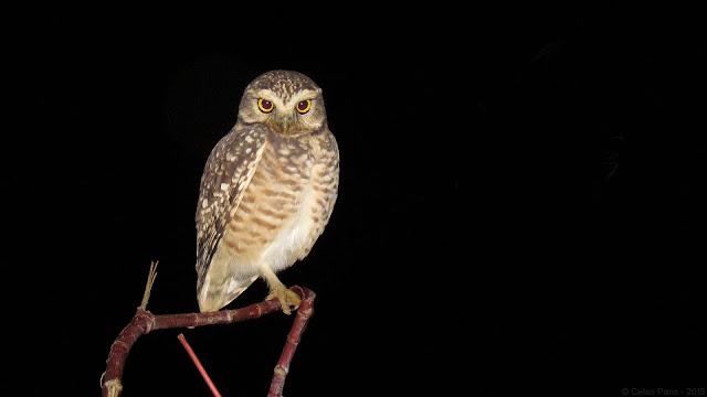 Burrowing Owl Athene cunicularia grallaria Coruja-Buraqueira Lechucita vizcachera