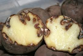 Budidaya, kentang, hama, jenis-jenis kentang