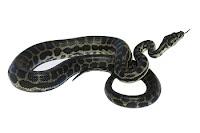 Snakes Ko Mar Dala Karo Kyun ka ya Ankh Ki Roshni Tak Khatam - Sahih Bukhari