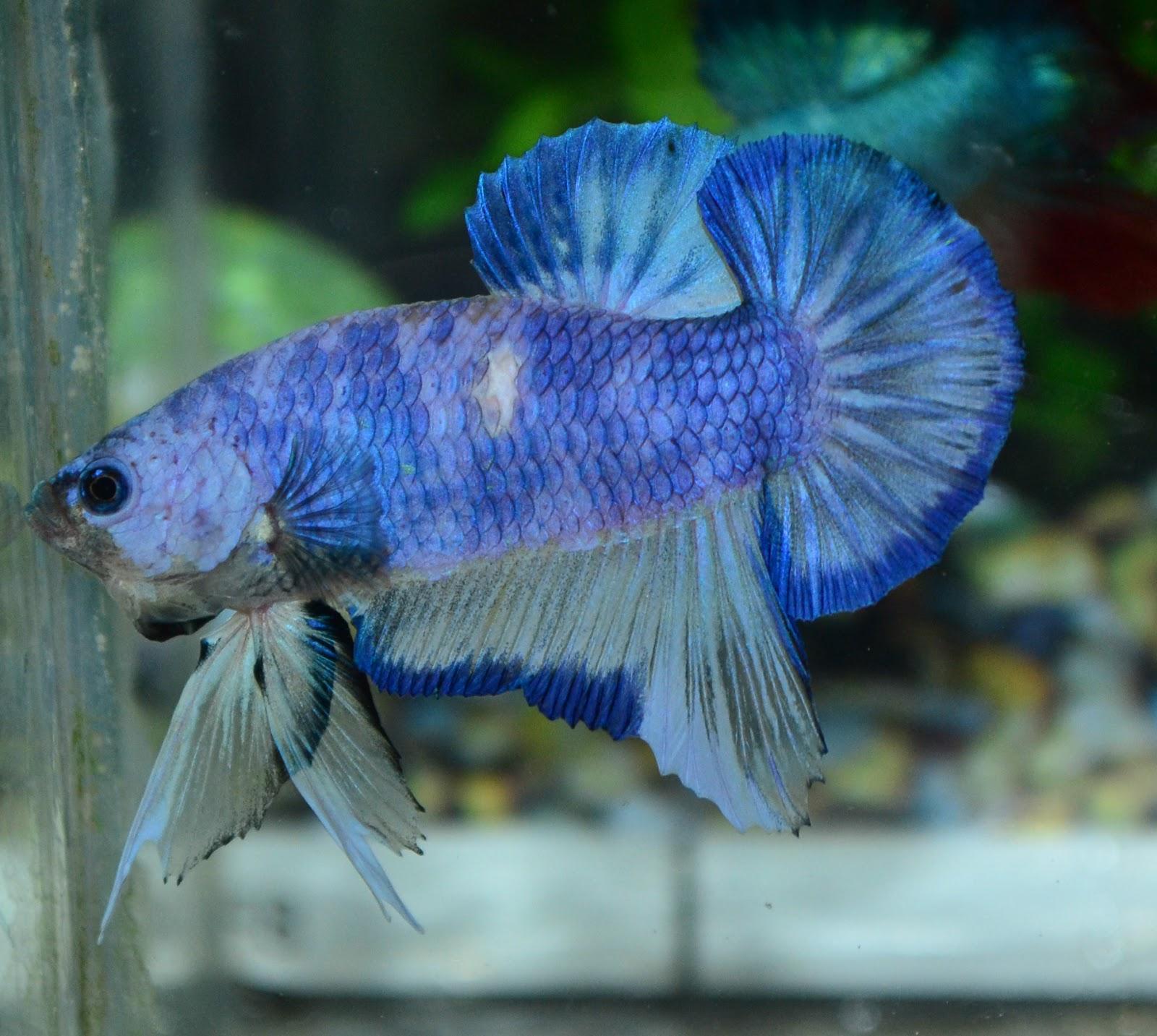Betta fish afira betta new 25 nov 2012 line indo all for All about betta fish