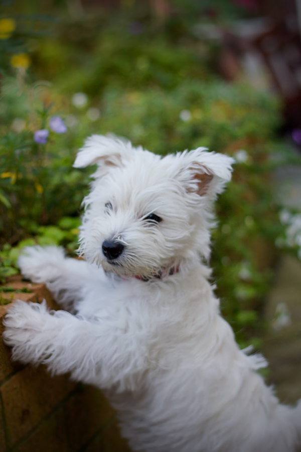 One dog love dog of the week west highland white terrier - Pictures of westie dogs ...