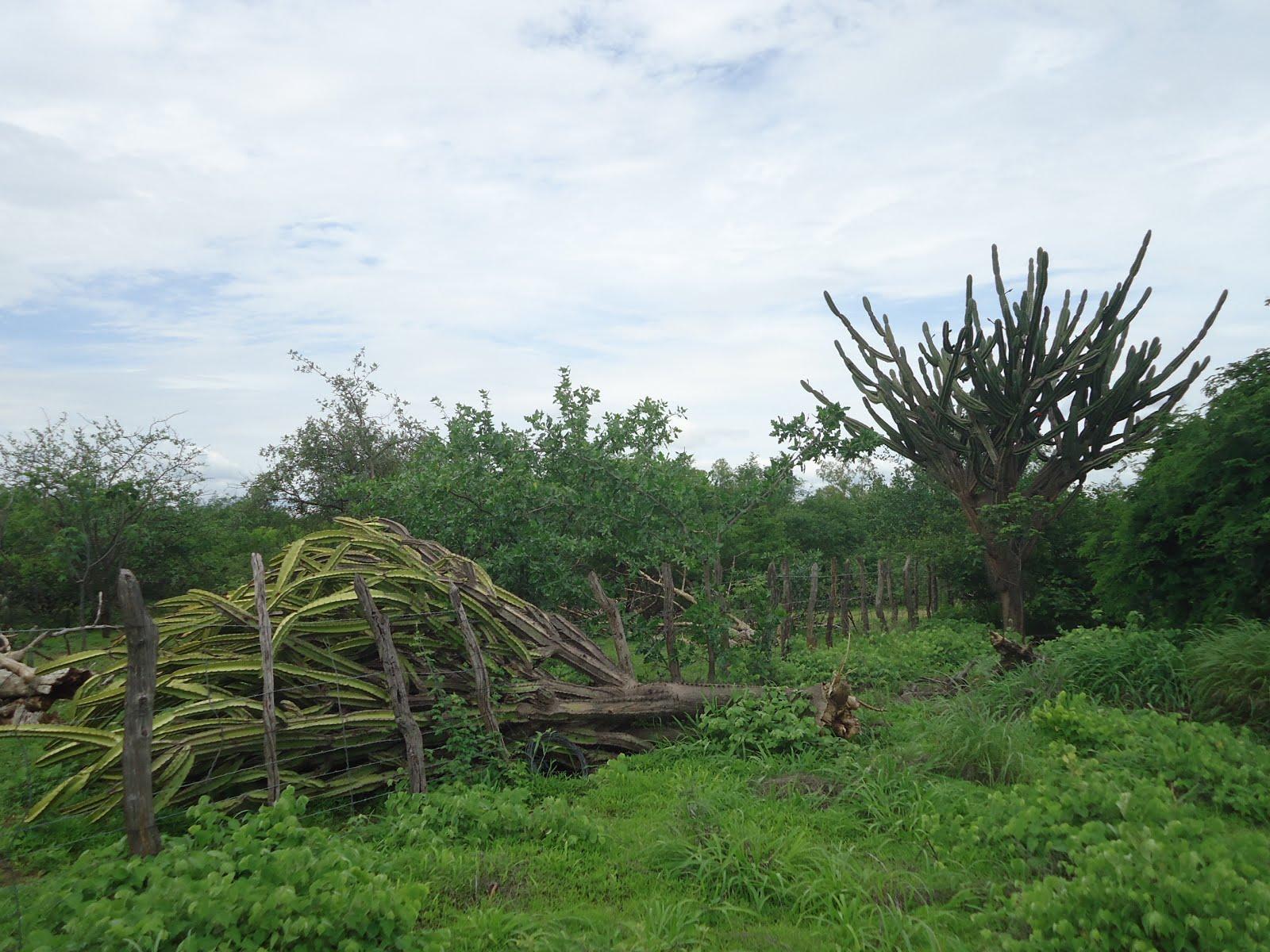 Planta de mandacaru derrubada pelos ventos