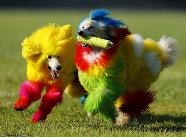 Two miniature poodle frolic in the exhibition Masters of grooming, Dana Point, California, USA