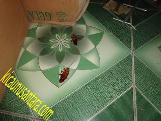 obat kecoak, obat serangga, obat kecoa, obat coro, cara membersihkan coro