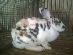 kelinci-17