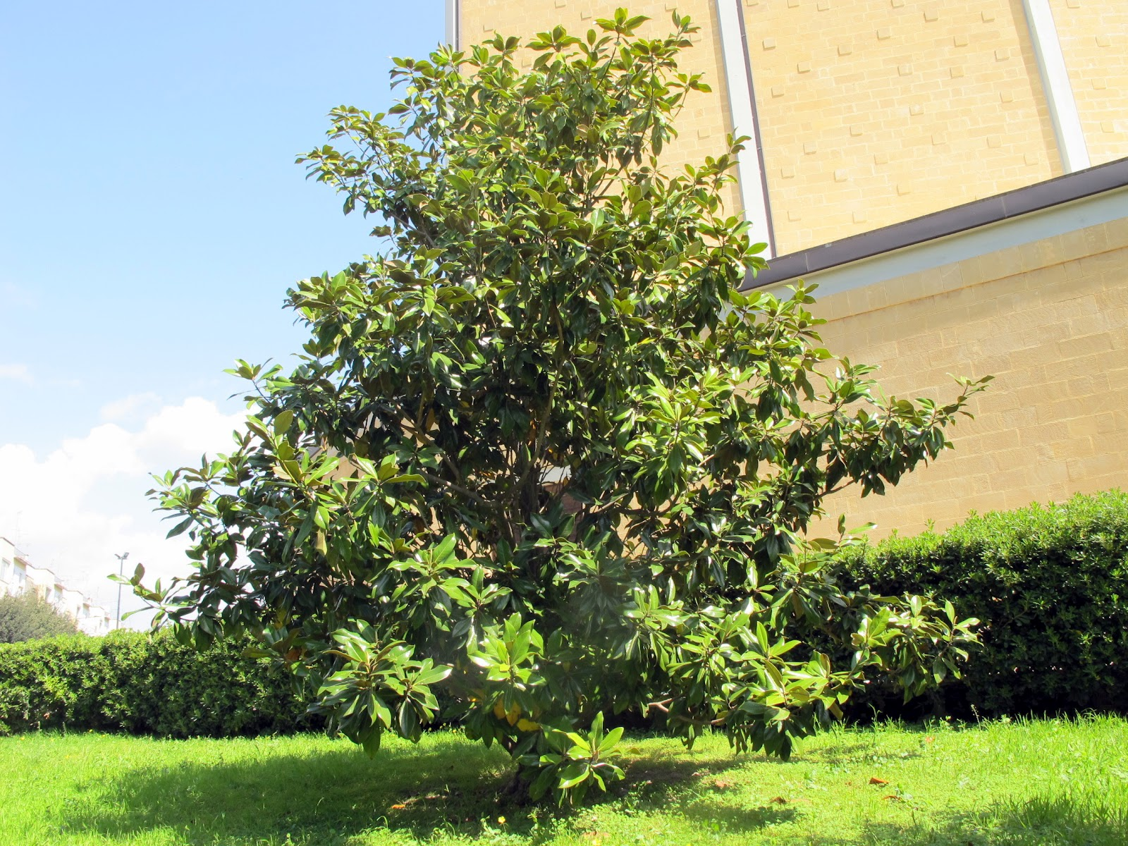 Magnolia grandiflora 28 images vente magnolia - Magnolia grandiflora ...