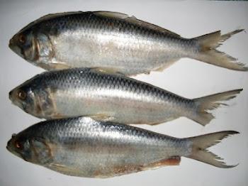 Tempahan Ikan Terubok Masin Sarawak