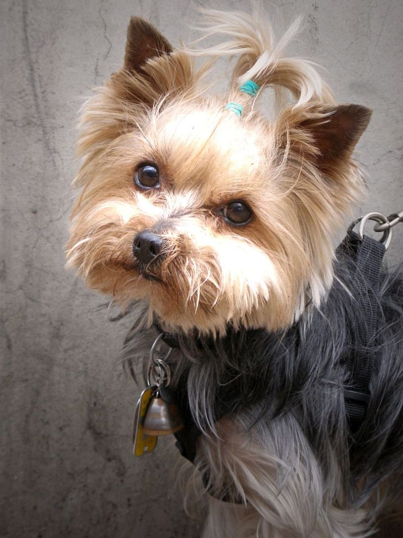yorkie puppies pictures   the animal life