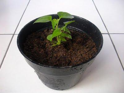 Cabai Rawit Dalam Pot