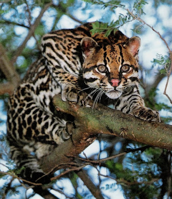 Jaguatirica acuada em cima de uma árvore