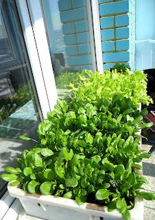 20 марта, мини-грядка салата и шпината