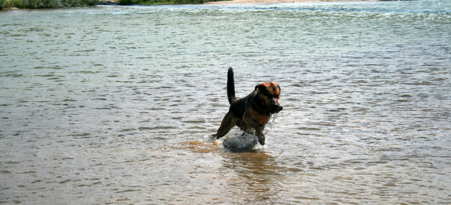 Rambo bounding out of the water with his rock