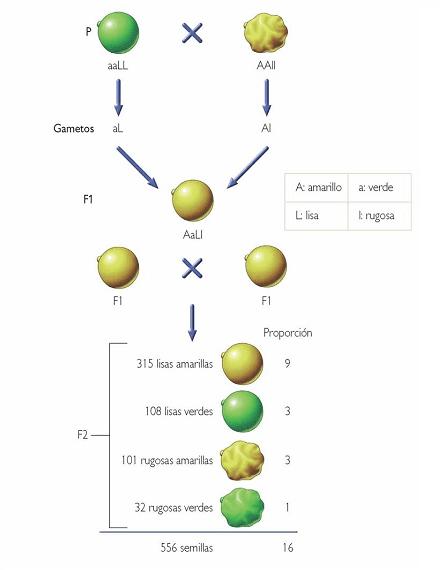 Mendel dihibridismo