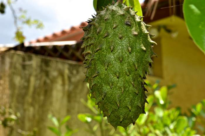 Helen A Lockey Soursop Guanabana Excalibur Fruit Trees Lake Worth Fla