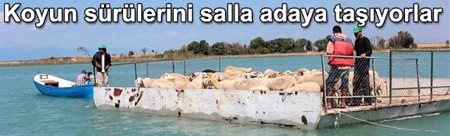 Koyun surulerini salla adaya tasiyorlar