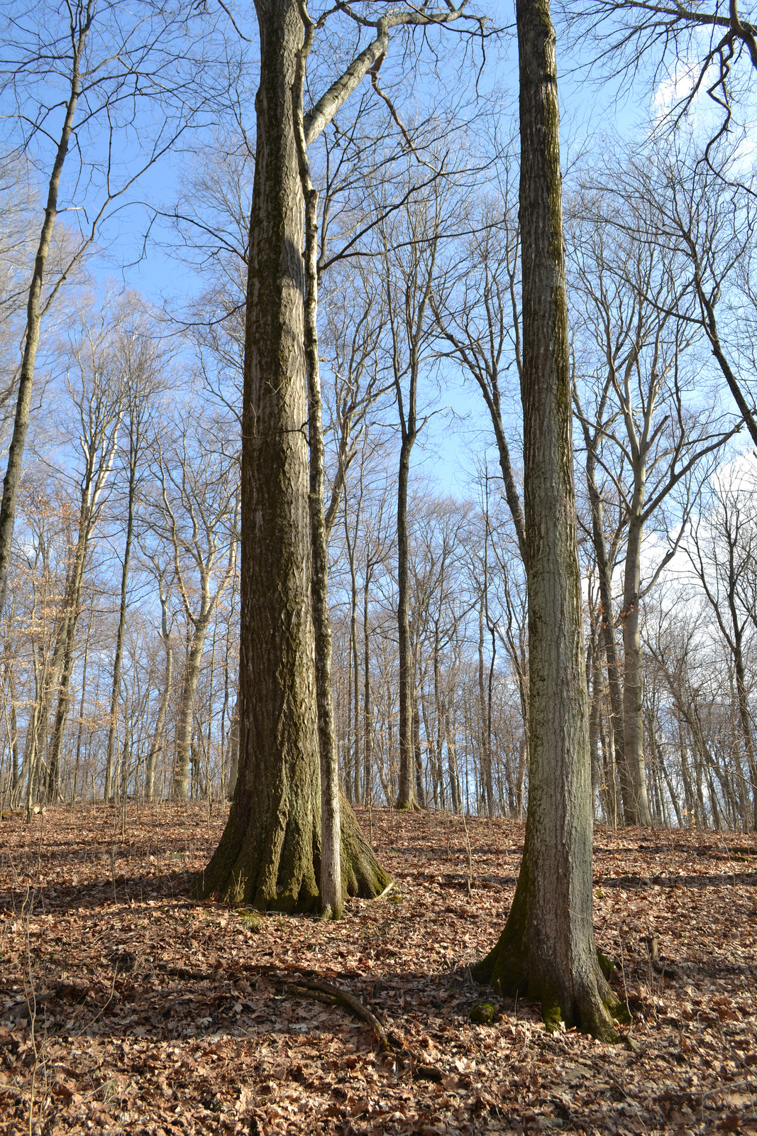 Beech Maple Forest ~ Nature in humanity hueston woods quot big state