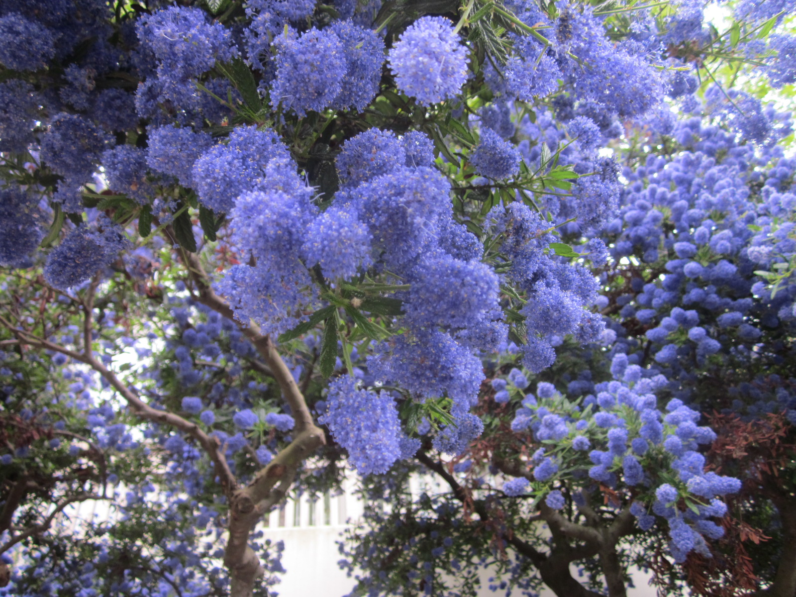 Here and there vancouver eats ceanothus is an evergreen shrub or small tree with many clusters of small blue flower clumps in spring and summer bees swarm to the bright flowers in early izmirmasajfo