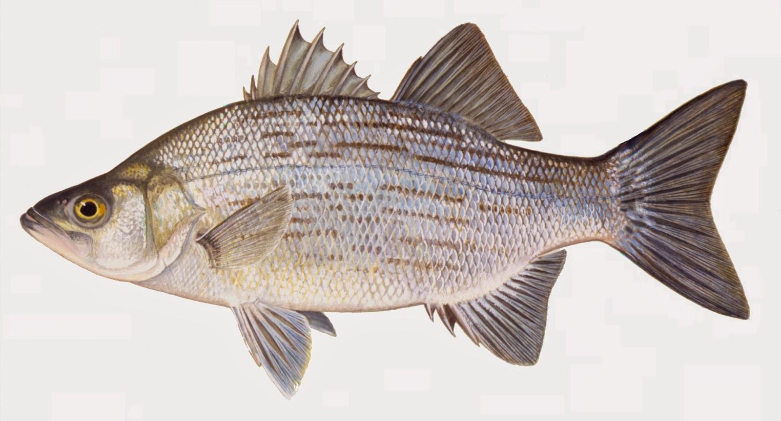 Take it outside fish iowa iowa fish species for White fish types