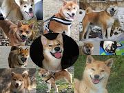 Collage de sonrrisas Shiba Inu!! Este collage lo hicimos con lss fotos de .