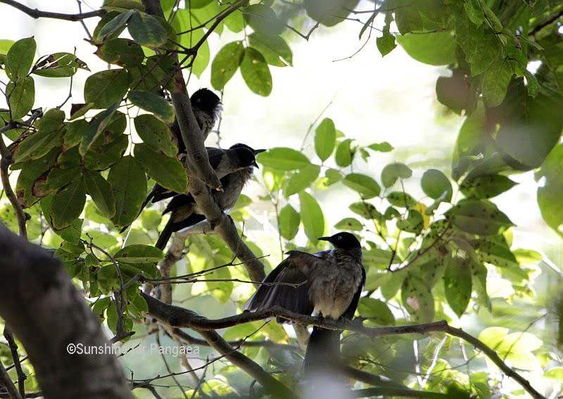 Blackcap Babblers in Gambia