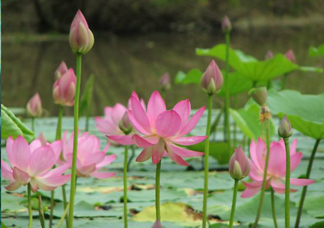 Lotus Pond July 7th...