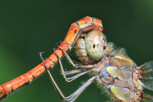 Tierfotos - Libellen - Große Heidelibelle - Paarung