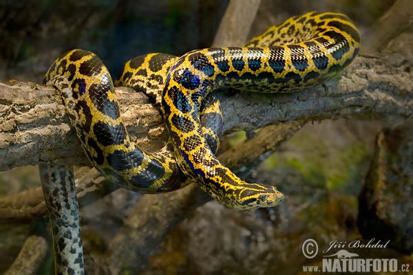Derrubando mitos sobre a Anaconda (Sucuri)