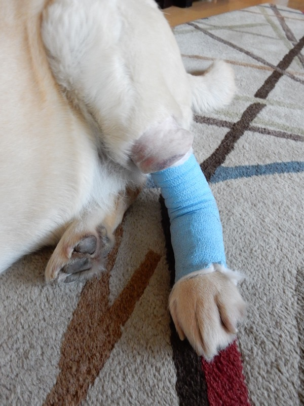 Labrador Cooper bandaged leg