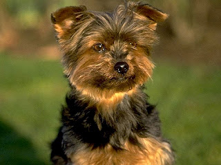 Yorkshire Terrier Cachorro