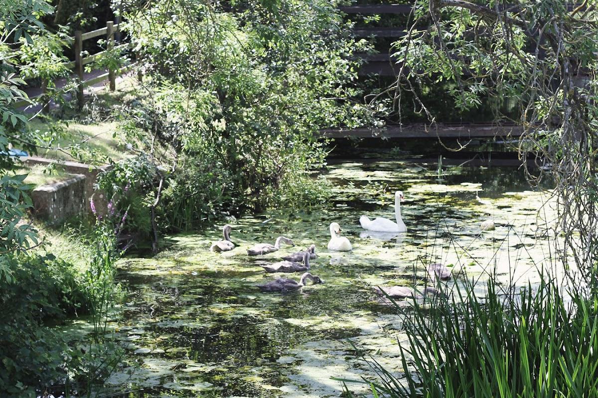 swans cygnet hadleigh suffolk