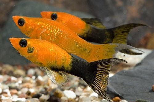 aquarium fishes: lyretail molly fish breeding