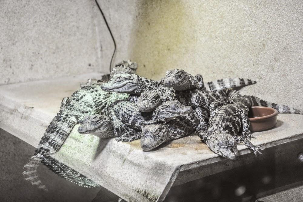 little crocodiles