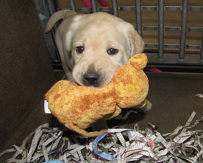A yellow Lab puppy with an orange toy in his mouth