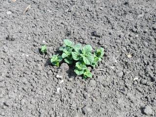 1 июня, всходы картофеля