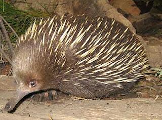 Ekidna adalah Satu-satunya Mammalia Yang Bertelur