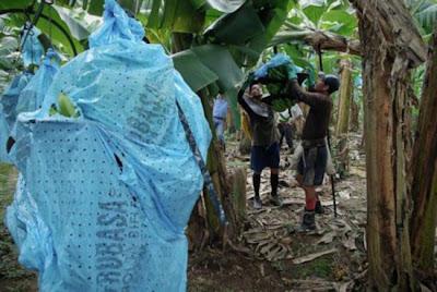 صناعة الموز في أمريكا اللاتينية-منتهى
