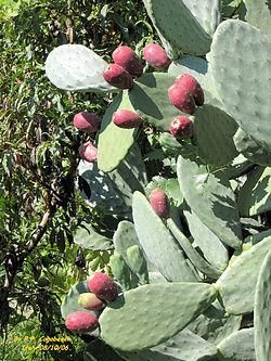 Orto per tutti piante da frutto for Pianta di fico prezzo